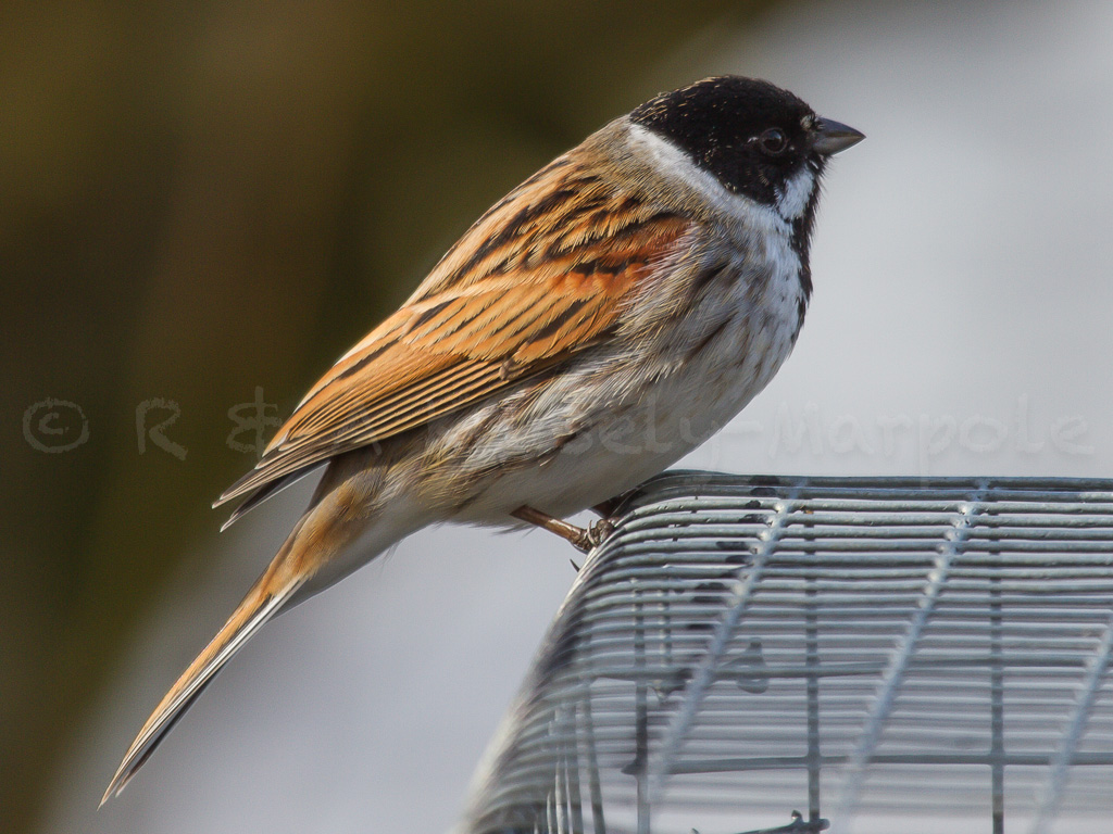 Reed Bunting Emberiza Schoeniclus Page 2 By R A Knisely Marpole